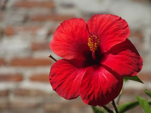 rožinė kinija,rosa,gėlė,Kinija pakilo,vasara,gamta,flora