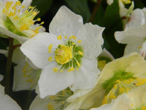 rose christmas hellebore white helleborus niger