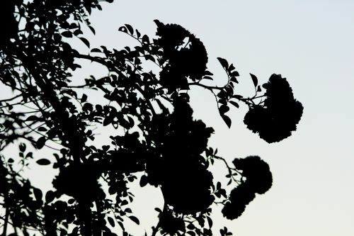 Rose Clusters Against The Sky