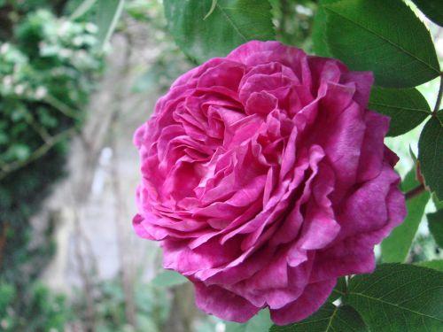 rose filled flower garden