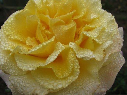 rose flower  raindrop  close up