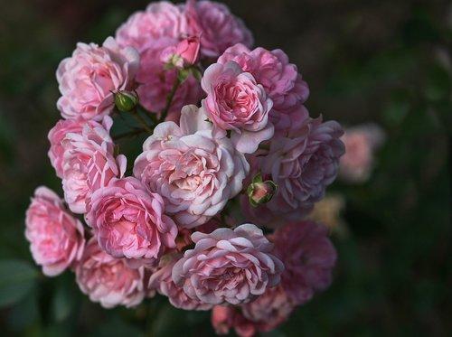 rose flower  rose petals  roses
