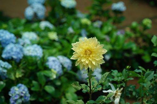 rose - flower  biology  blossom