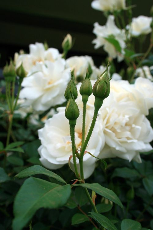 Rose Flower Buds