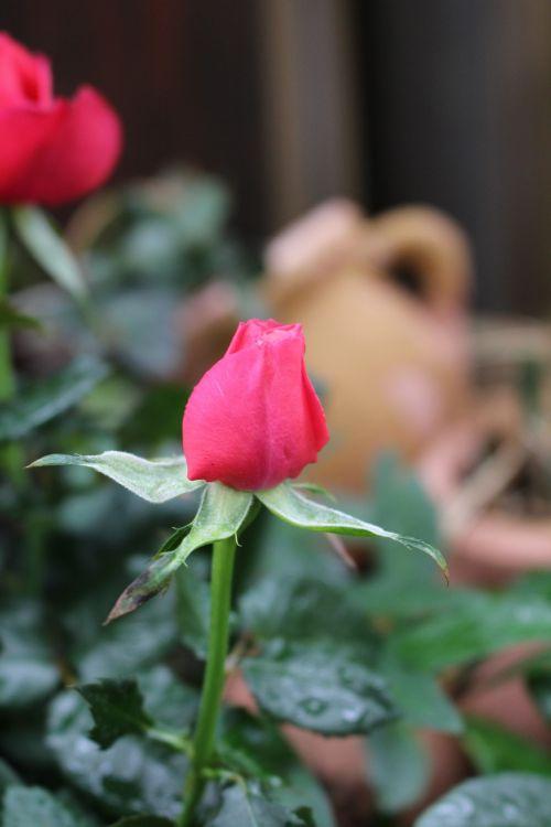 rožių sodas,gėlės,augalas,išaugo žydėti,rožė,romantiškas,meilė,kvepalai,žiedas,žydėti,žydėti