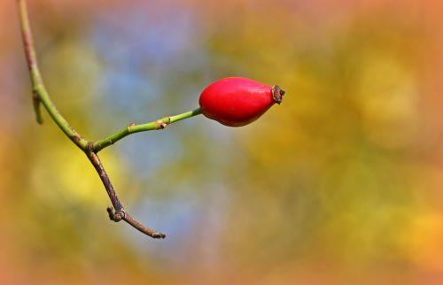 rose hip fruit autumn