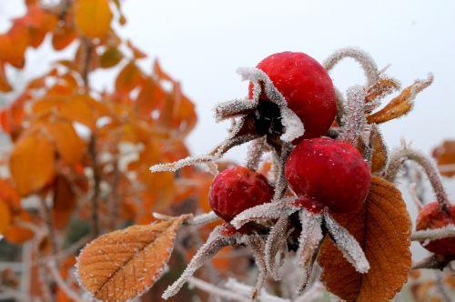 rose hip frozen hoarfrost