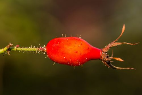 rose hip red orange
