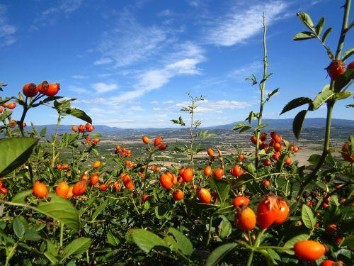 rose hip provence fruits