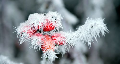 rose hip frost winter