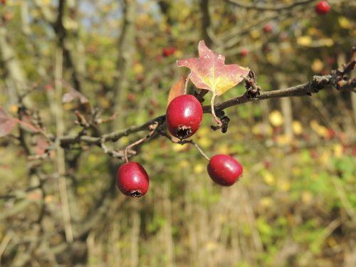 rose hip sammelfrucht fruit
