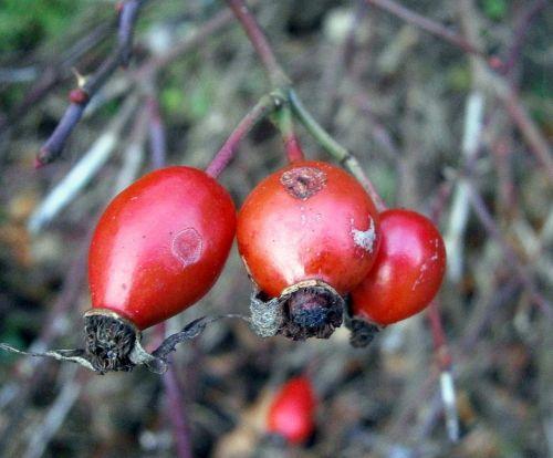 rose hip fruit sammelfrucht