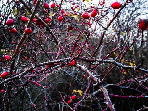 rose hip plant berries