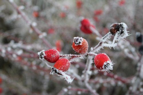 rose hip gefrohren winter