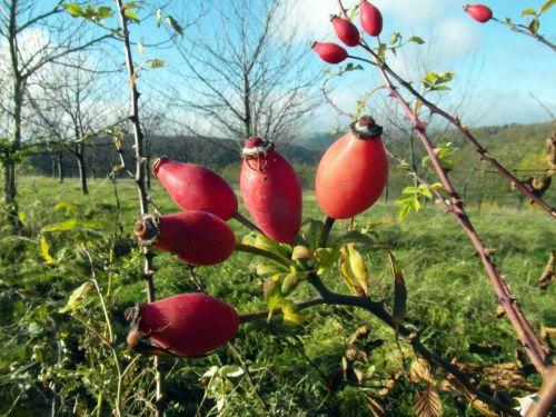 rose hip red november