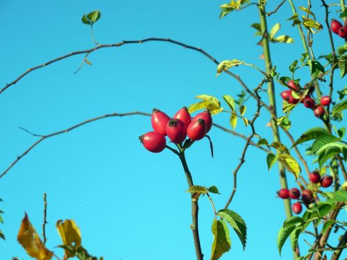 rose hip rose apples autumn