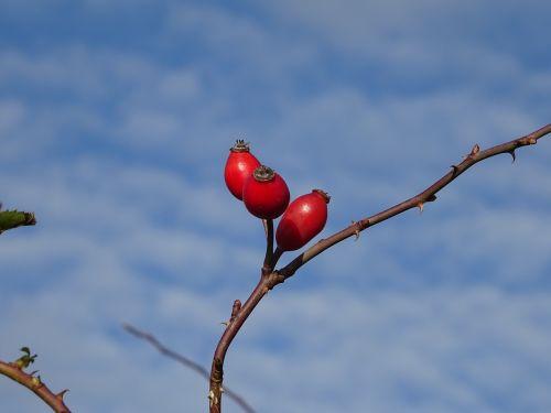 rose hip fruit red