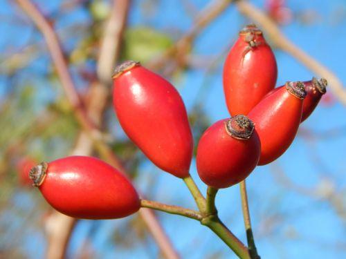 rose hip autumn bush