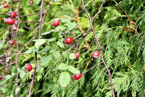 rose hip bush red