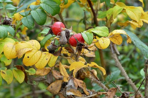 rose hip haw red