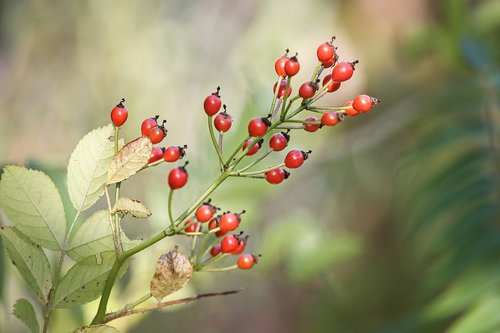 rose hip  bush  rosebush