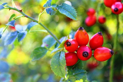 rose hip  red  nature