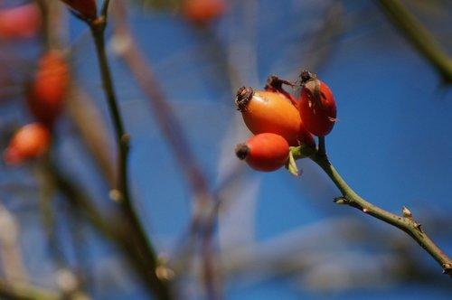 rose hip  non-toxic  nut fruits