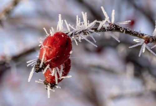 rose hip  eiskristalle  snow