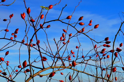 rose hip  fruits  bush