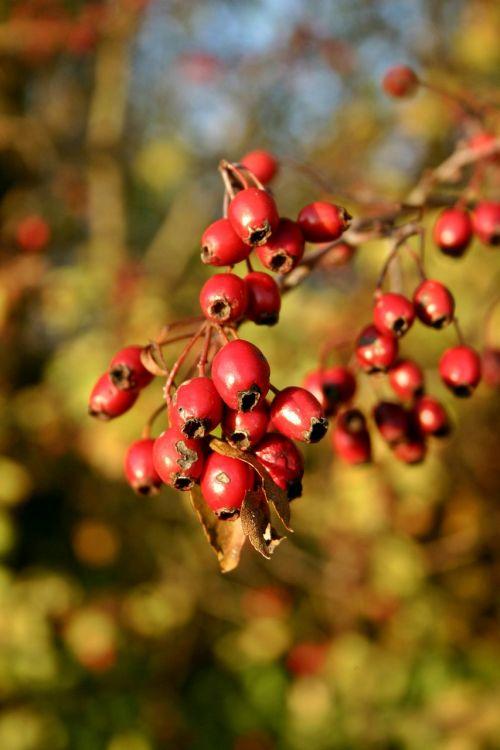 rose hip red fruit