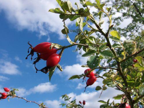 rose hip fruits autumn
