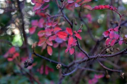 rose hip leaves autumn