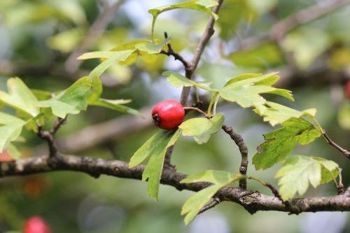 rose hip nature fruit
