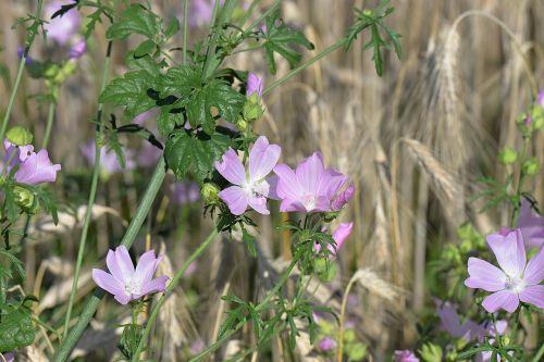 rose mallow flowers sigmar wurz
