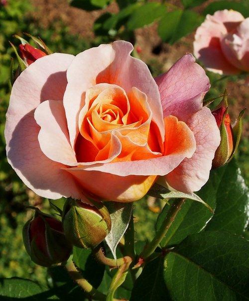 rose marie height  rosé - apricot  dieter hausen