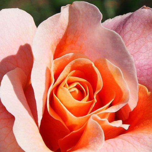 rose marie height  rosé-apricot  dieter hausen