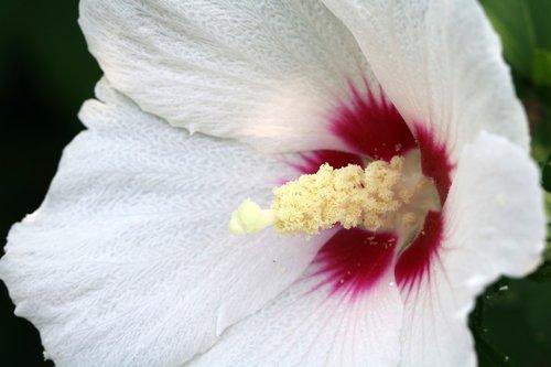rose of sharon  flowers  korea