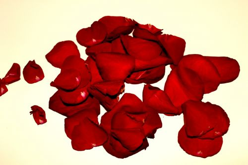 rose petals roses withered