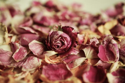 rose petals roses fragrance