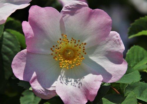 rose petals  pink  wild rose