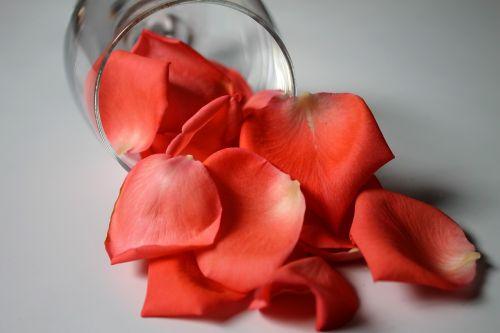 rose petals petals rosa