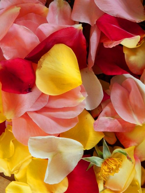 Rose Petals With Stem