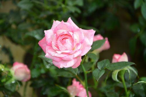 rose pink pink flowers rosebuds