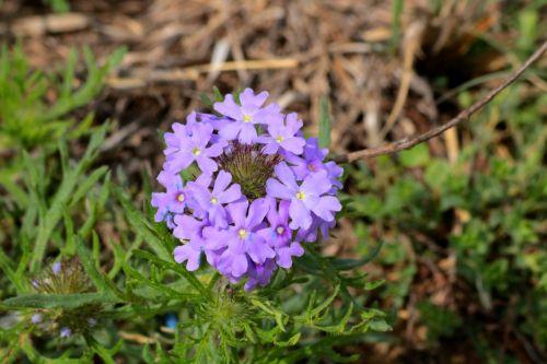 Rose Verbena Wildflower Close-up