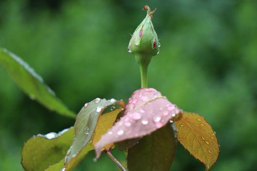 rosebud after the rain raindrops
