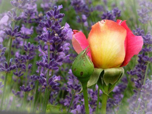 rosebud red yellow