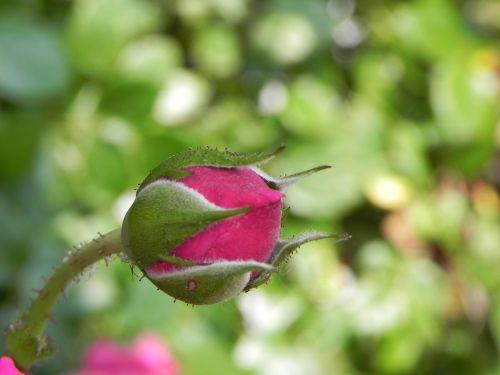 rosebud nature bud