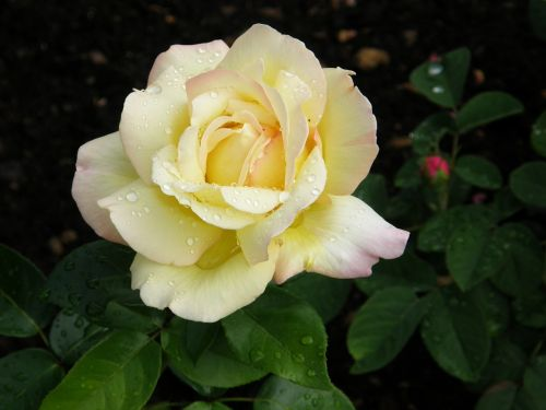 rosebud filled bud floribunda