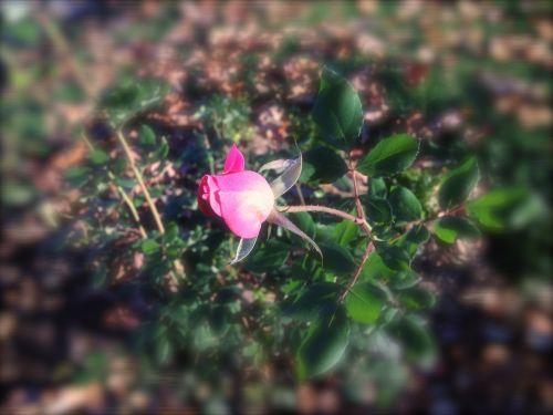Rosebud In Frost