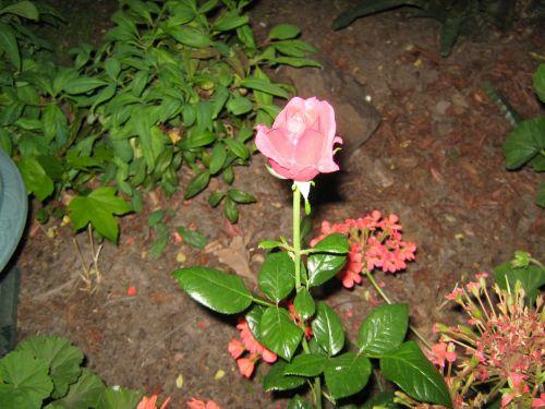 Rosebud Update